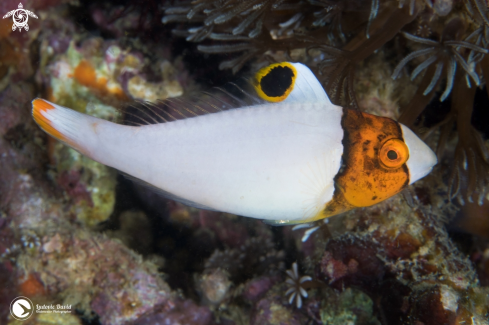 A Spotted Parrotfish