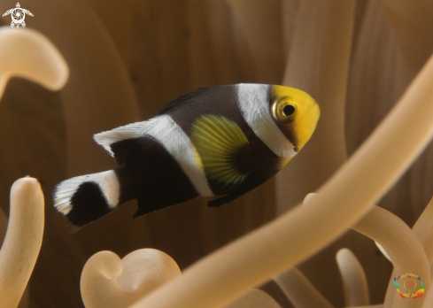 A Saddleback clownfish
