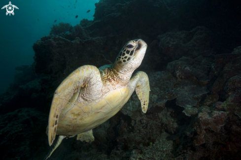 A Green sea turtle (Chelonia mydas)