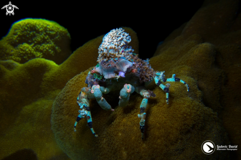 A Corallimorph Decorator Crab