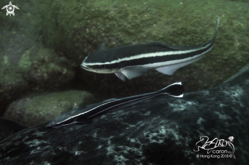 A Remora and Cobia