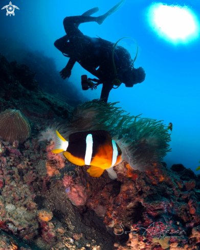 A anemone fish with diver