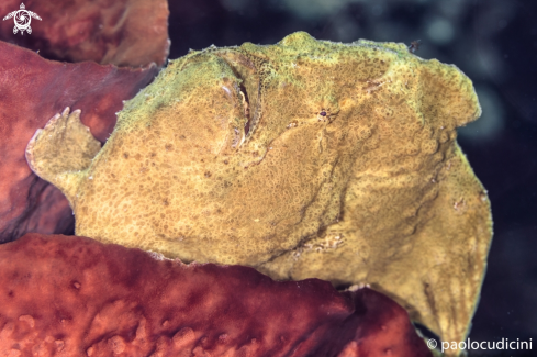 A Antennarius commerson | Commerson's frogfish ( Giant Frogfish)