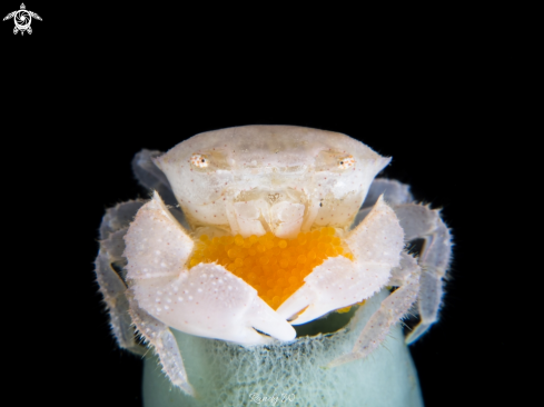 A Crab with eggs