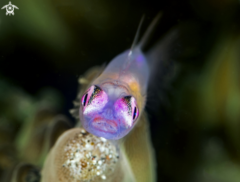 A Goby pink eyes