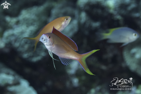 A Anthias Fish
