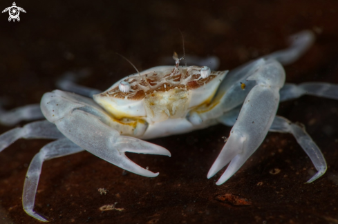 A Tiny white crab