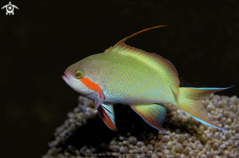 A Threadfin Anthias