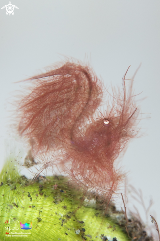 A Hairy shrimp