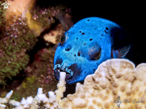 The Blackspotted Pufferfish