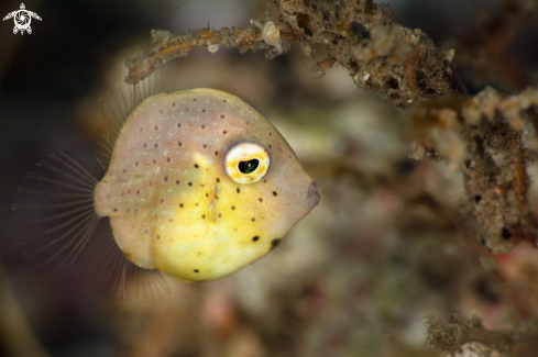 A Diamond Filefish