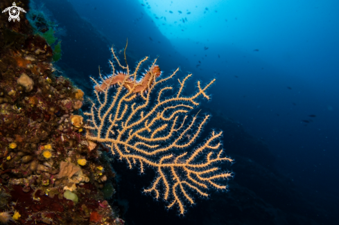The Gorgonian Fan Coral