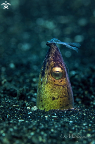 A Dark-shouldered snake eel (Ophichthus cephalozona)