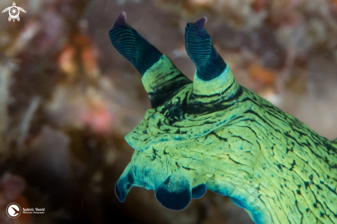 The Miller's Nembrotha Nudibranch