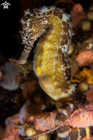 A Tiger Tail seahorse