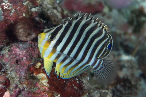 A Barred Angelfish