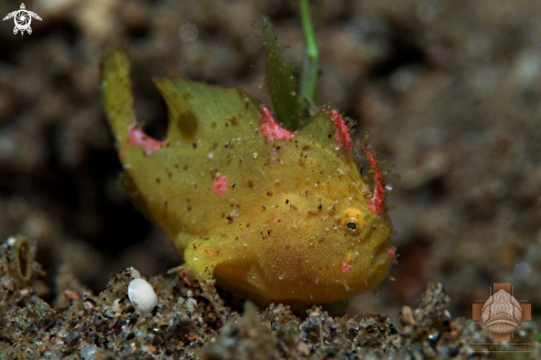 A Juvenile Ocellated Frogfish