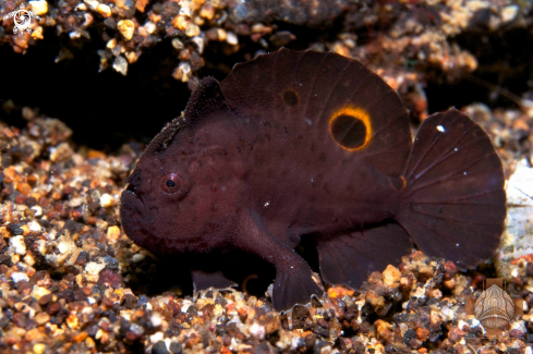 A Ocellated Frogfish
