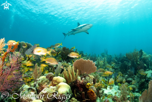 A Caribbean Reef Shark