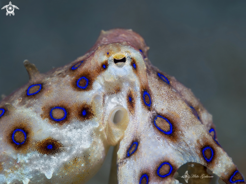 A Blue Ring Octopus