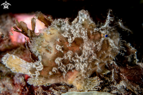 A Warty frogfish