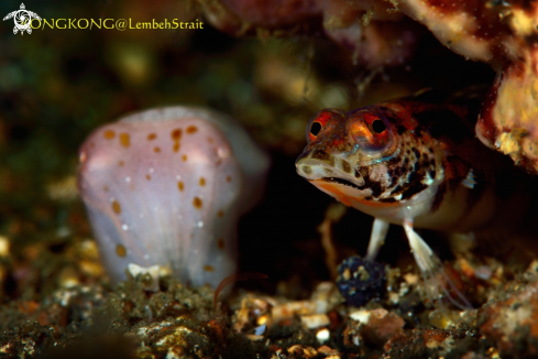 A Redbarred Sandperch and Pygmy Cuttlefish