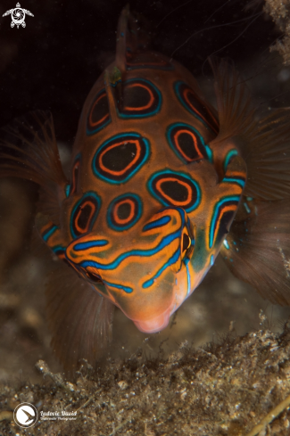 A Synchiropus picturatus | Picturesque Dragonet