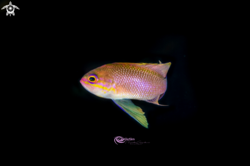 A Profile Anthias