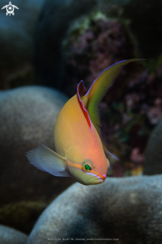 The Redfin Anthias