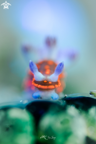 The Nudibranch