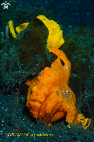 A Giant Frogfishes