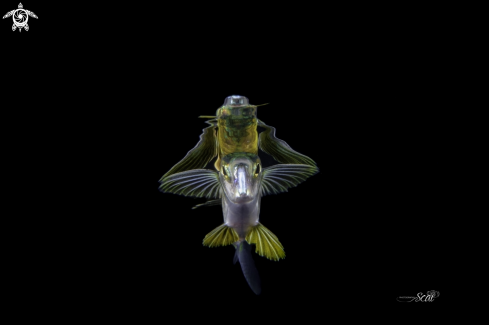 A Flaying fish