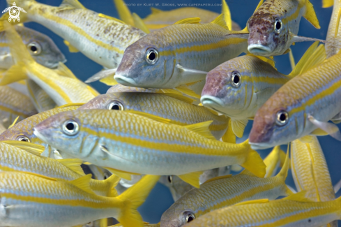 A Yellowfin Goatfish