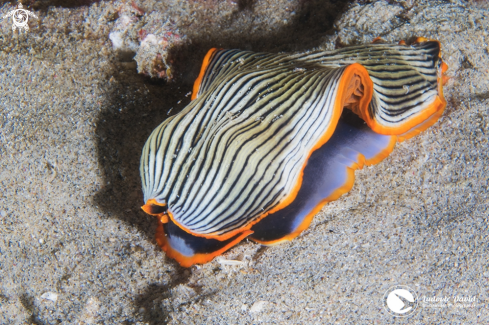 The Armina Nudibranch