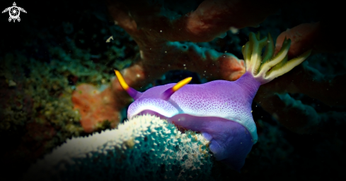 The Hypselodoris bullocki