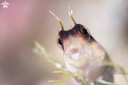 A long striped blenny