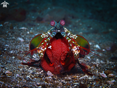 The Peacock Mantis Shrimp