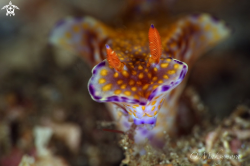 A Nudibanch Ceratosoma gracillimum