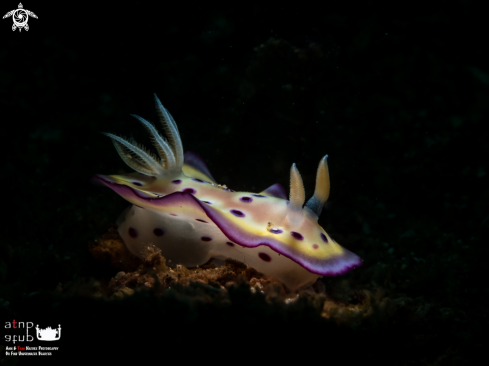 A Sea Slug / Nudibranch