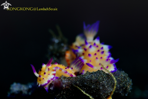 A Nudibranches