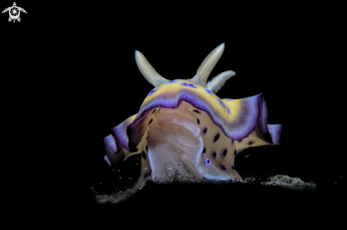 A Chromodoris Genimus  | Chromodoris Genimus