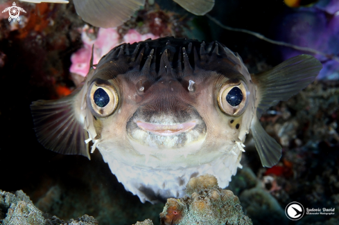 The Longspined Porcupinefish