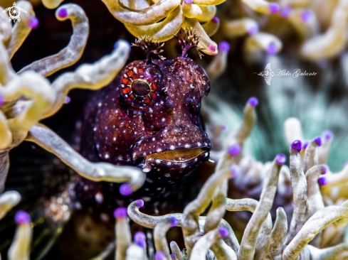 A Starry Blenny