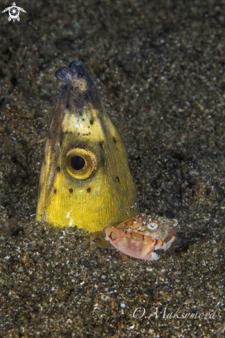 A Highfin snake eel( Ophichthus altipennis ) with crab (Lissocarcinus laevis)