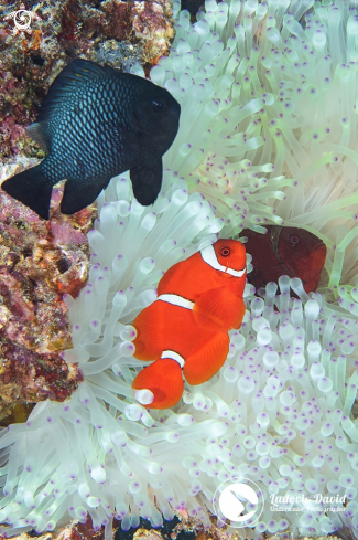 A Spinecheek Anemonefish