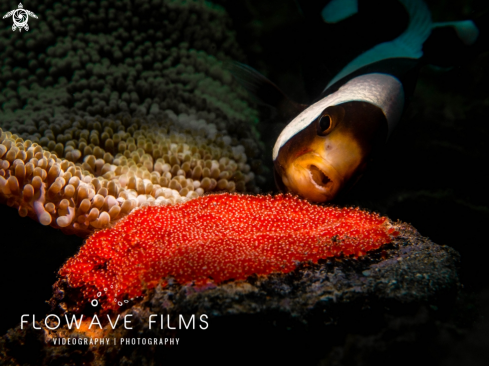 A Sadleback Anemonefish With Eggs