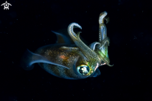 A Big fin reef squid