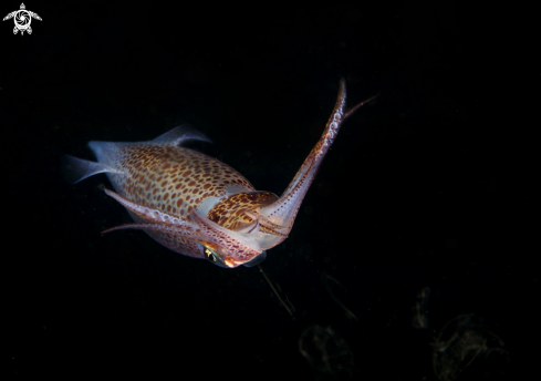 Common european squid