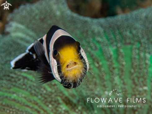 A Saddleback Anemone Fish