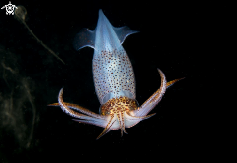 A European common squid